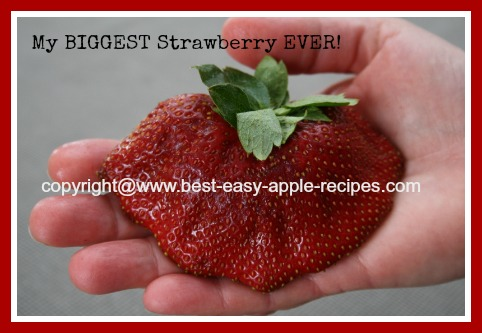 Picture of the BIGGEST Strawberry EVER